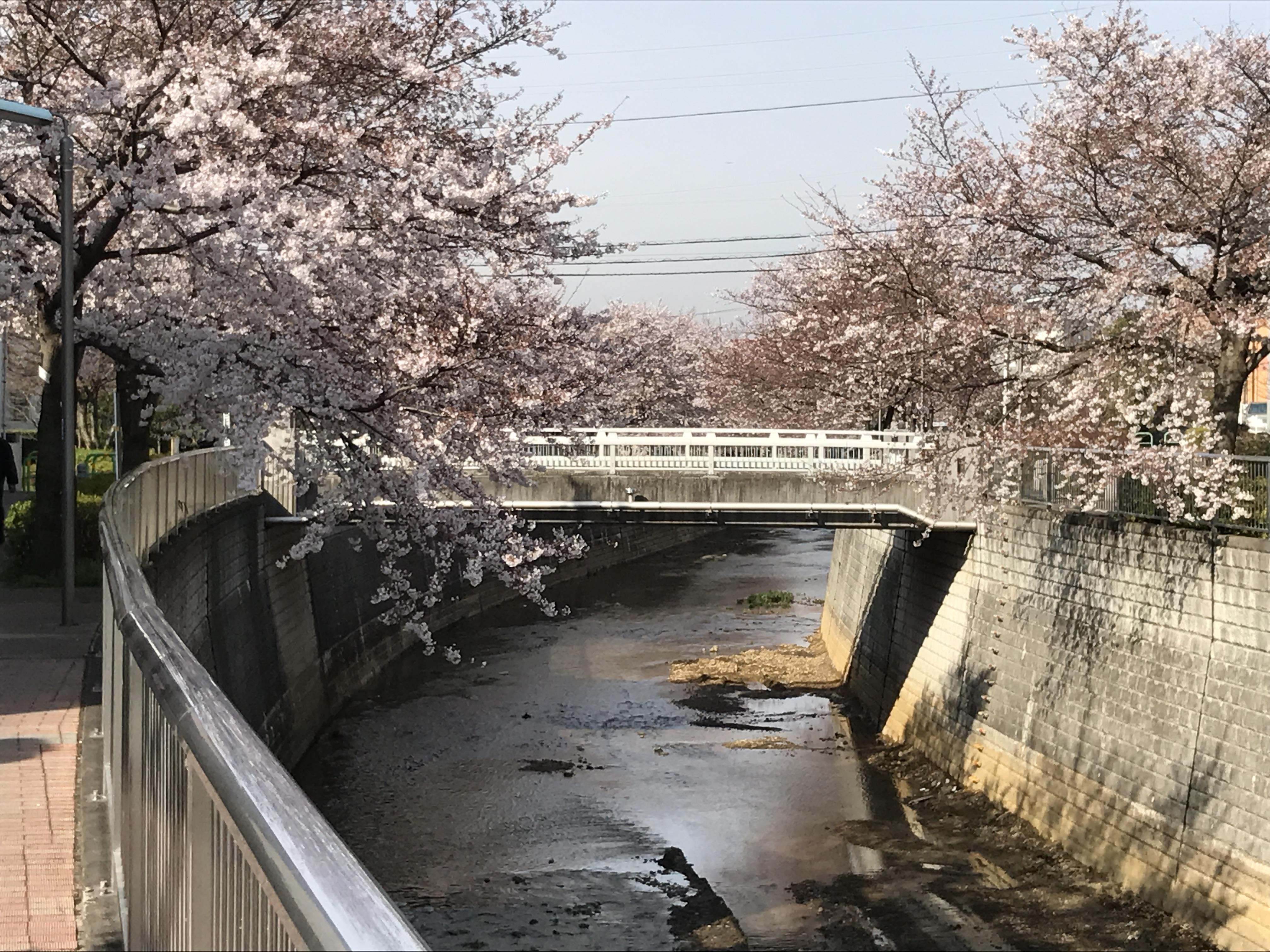 2017「桜」