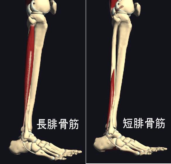 足の外くるぶしの後ろが痛い・・・「腓骨筋腱炎」