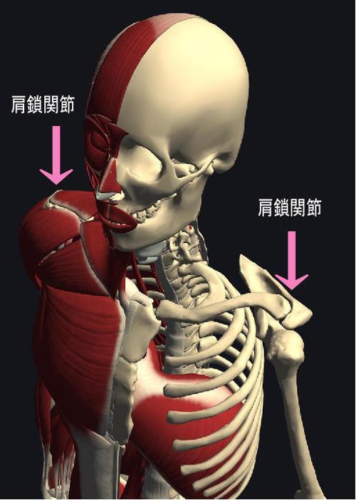 肩鎖関節.jpg