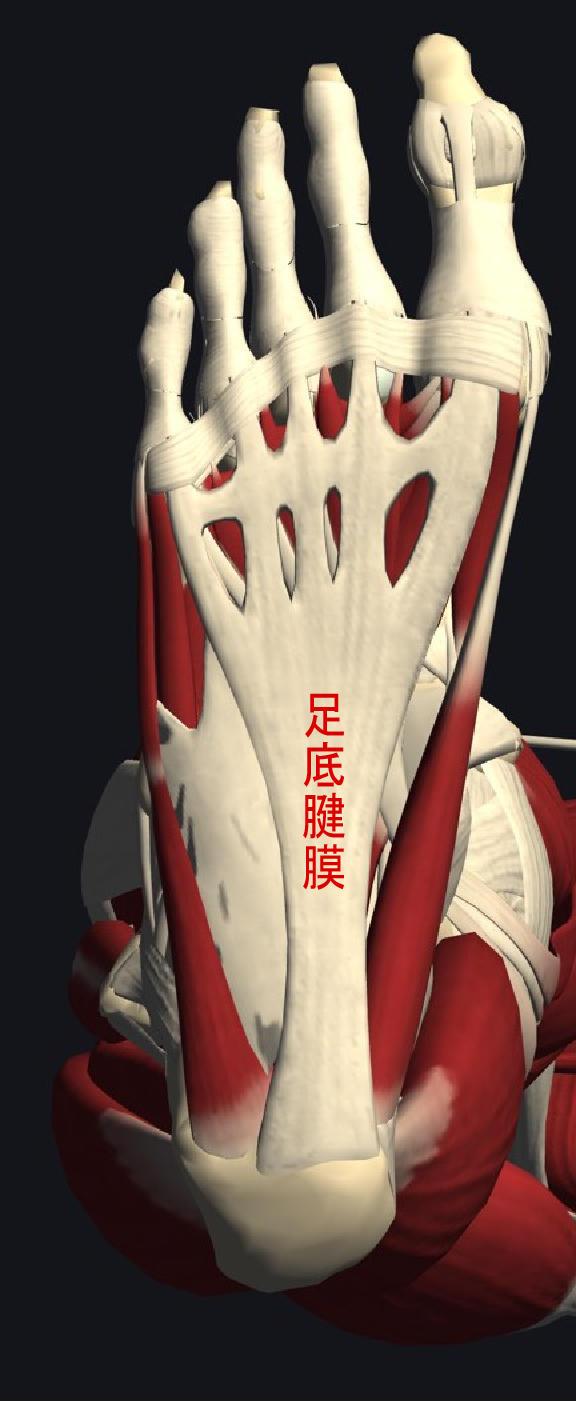 かかとの痛み「踵骨骨棘・足底腱膜炎」
