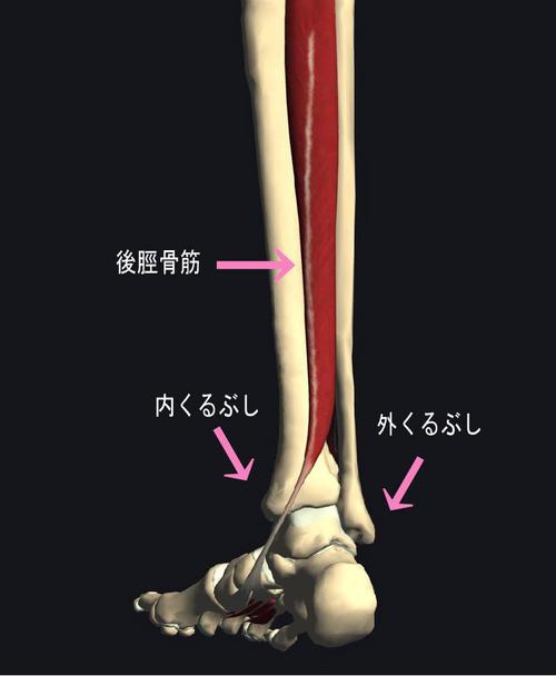 後脛骨筋.jpg