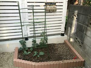 家庭菜園キュウリ1.jpg